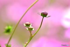 きっとピンクの花が咲く