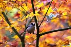 秋のエナガ