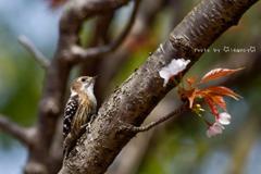 桜とコゲラ2