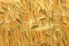 黄金色の麦畑