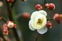 咲いた・咲いた 我が家の梅が