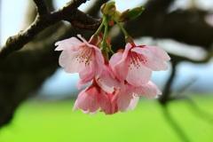 春の詩  【陽光桜】