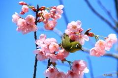 メジロ 喜びの春