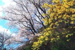 春の競演【桜 ミモザ】