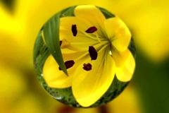 黄色 スカシユリ