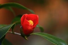 夢みるツバキ  小型赤侘助