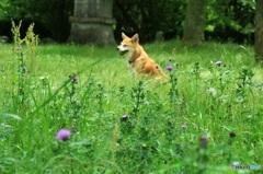 野原のアザミと愛犬