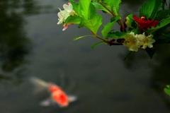 鯉のいる光景