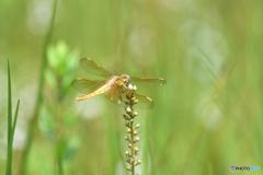 黄金の蜻蛉