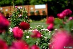 薔薇をぬけるとそこにはバラが