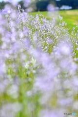 薄紫カーペット