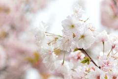 5月の植物園を歩く(サトザクラ・楊貴妃)