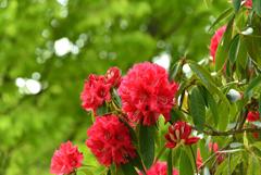5月の植物園を歩く(シャクナゲ)