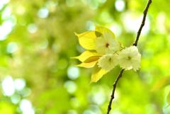 5月の植物園を歩く(サトザクラ・鬱金)