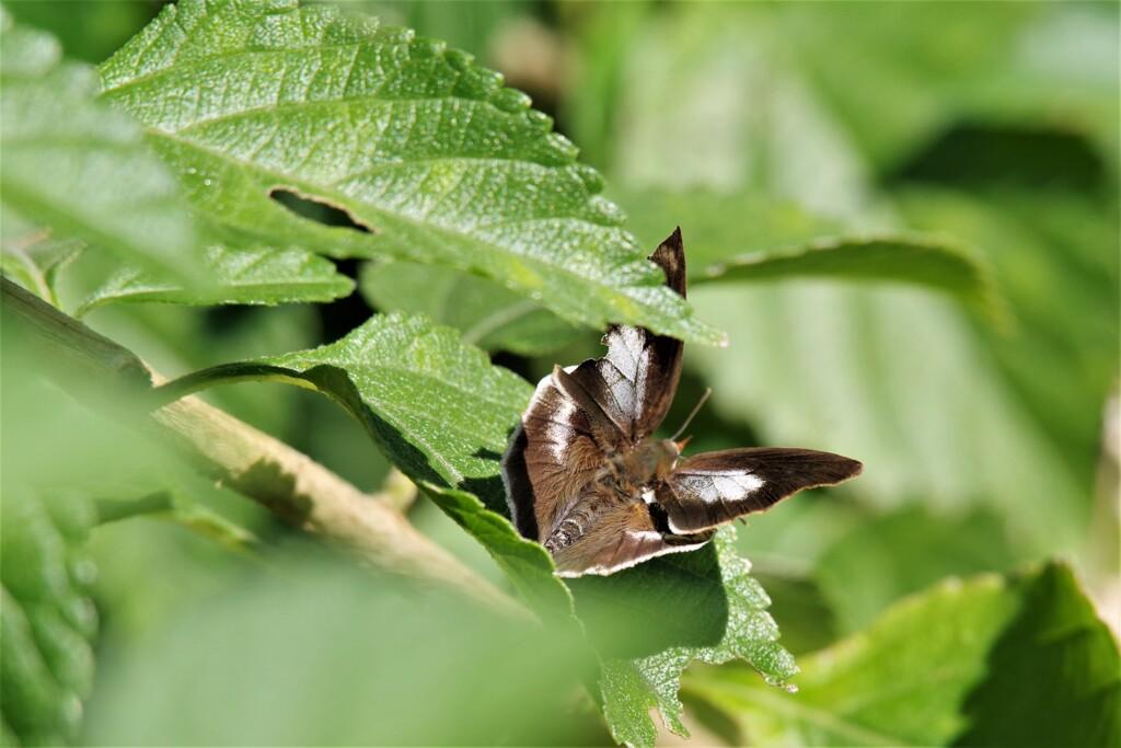 今日の蝶 (5)