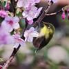 桜とメジロ (1)