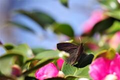 昨日の蝶 (4)