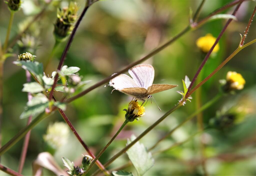 今日の蝶 (2)