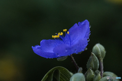DSC06581 夜露に濡れた紫露草