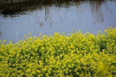 DSC01942 水辺の菜の花