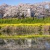 DSC00532. 追憶 桜を映して川は流れる