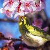 DSC09082-5 桜の花影