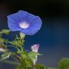 DSC01962. 青い朝顔