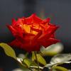 DSC01087. 神無月に咲く