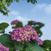 DSC09452  明日も咲きます