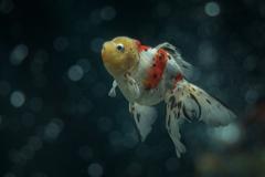 泳げ金魚ちゃん