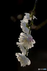 清楚な桃の花