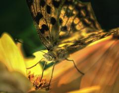 DSC05663 ステンドグラス風 花と蝶