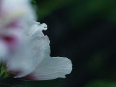 DSC09044 花片の妙