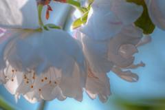 _朝日の中の桃の花.