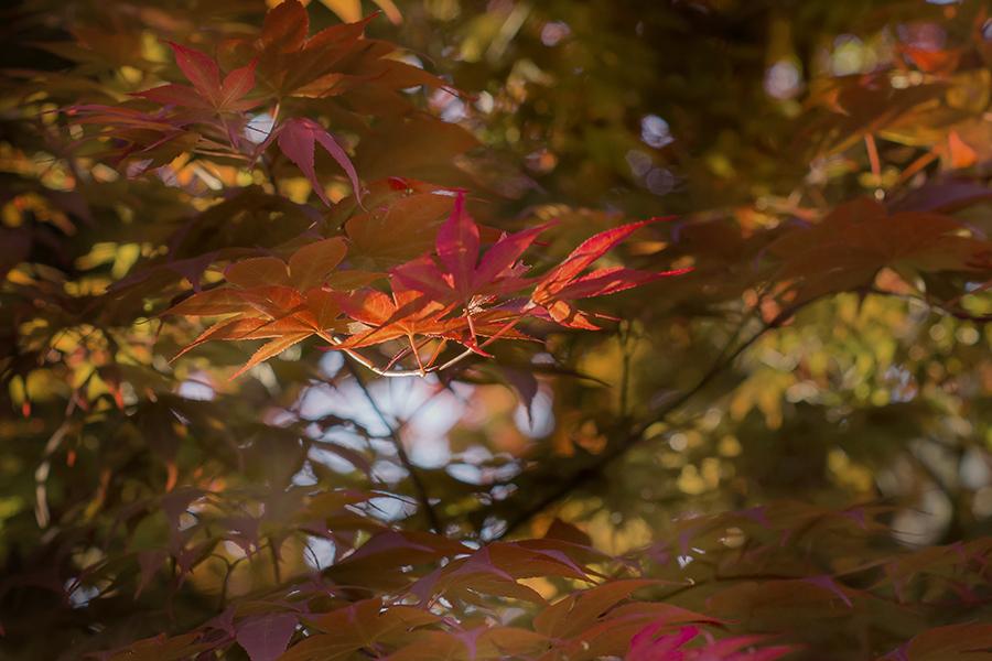 ゆめいろ初夏の紅葉