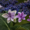 DSC01614. 追憶 紫陽花の笑顔