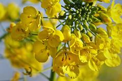 ピカピカ菜の花