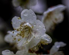 DSC07277 花に雨もようは春近し