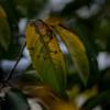 秋の桜の葉