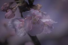 DSC04087咲けよ薫れよ河津の桜たち