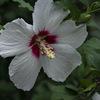 DSC09944 初秋の木槿