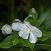DSC09946. 白い花