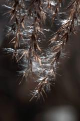 DSC03216  枝垂れて輝く冬のススキ