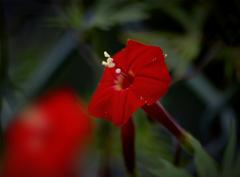 留紅草-2