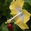 DSC04815. 黄色と白のツートーンカラー ハイビスカス