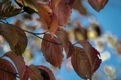 DSC05688. 高い枝の紅葉たち
