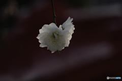 日本には桃の花もある