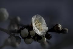 DSC03395. 梅が咲いて居ました jpg