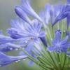 DSC09951. 雨粒が似合う花