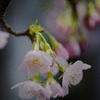 DSC00103 安行桜